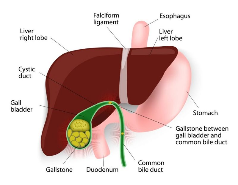 graphic of the inner torso and gallbladder