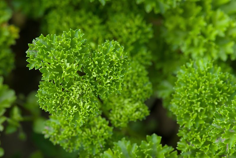 inflammation parsley