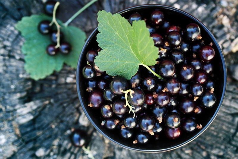 black current Antioxidant