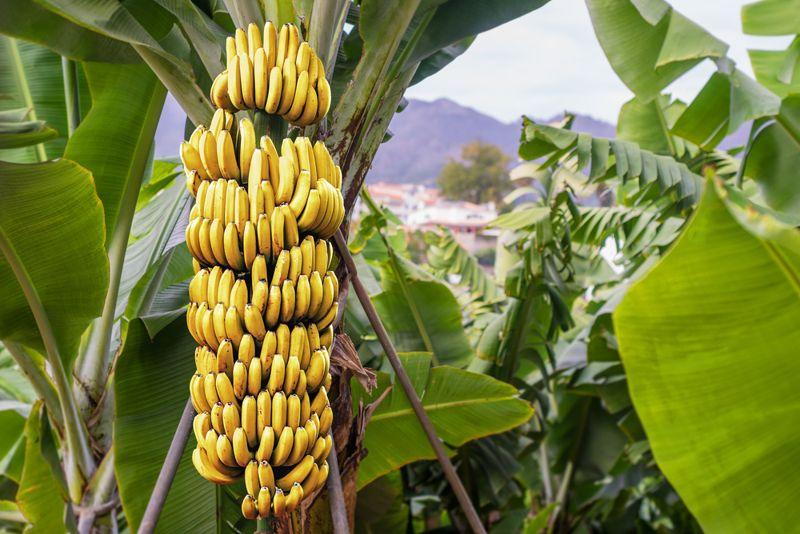 bananas dieting