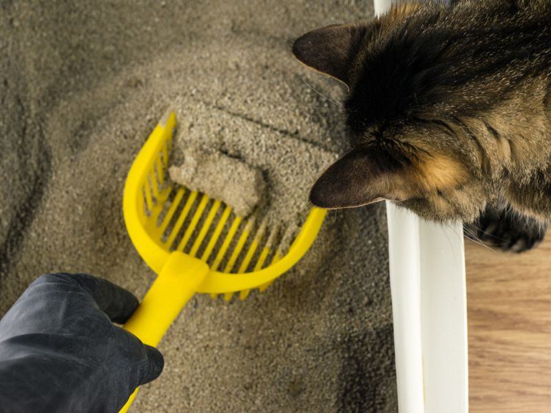 cat watching owner clean litter box