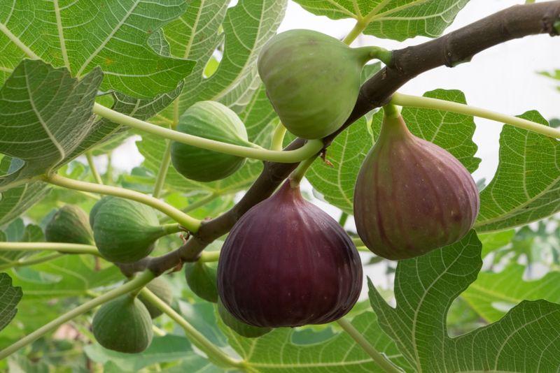 figs poop