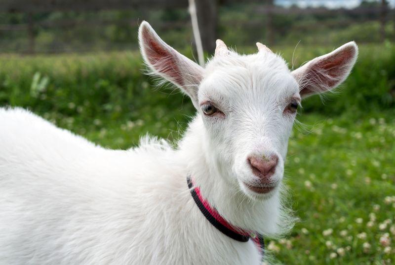 lactose intolerance goat's milk