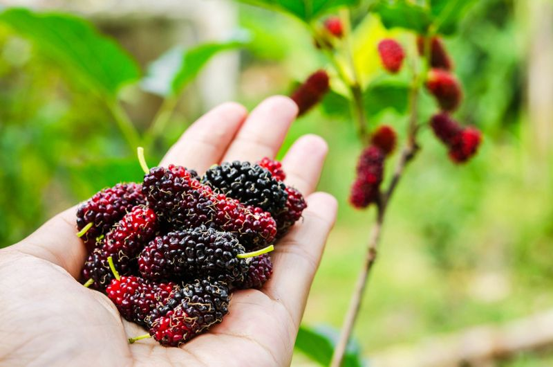 cancer Mulberry