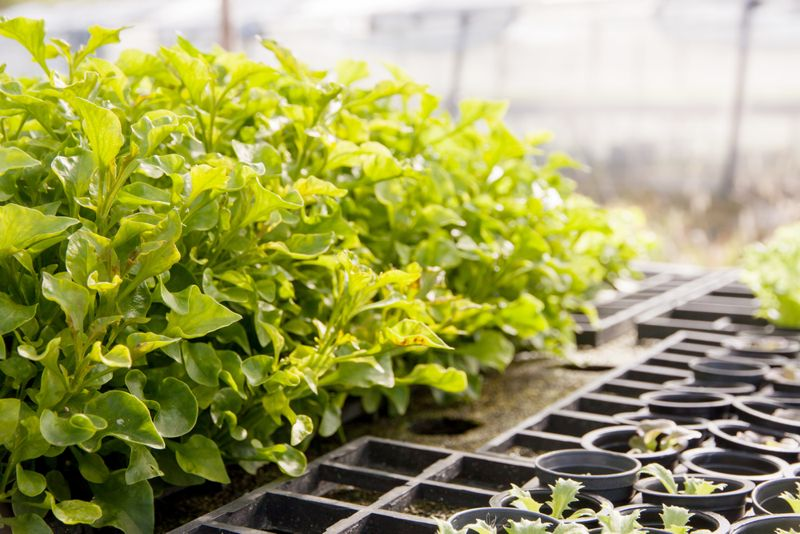 Cancer Prevention Watercress