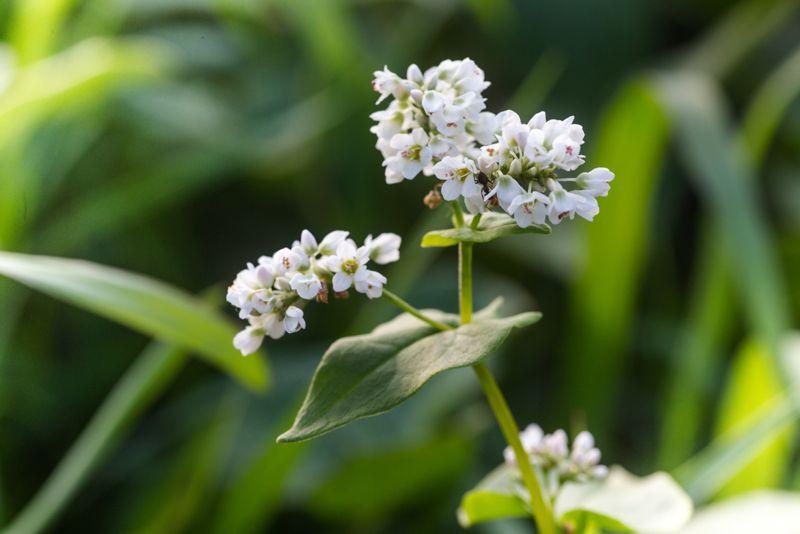 Get Your Gut Healthy Buckwheat