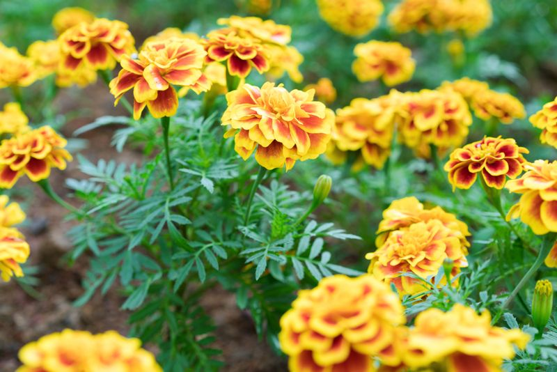 How marigolds can help to treat eye inflammations