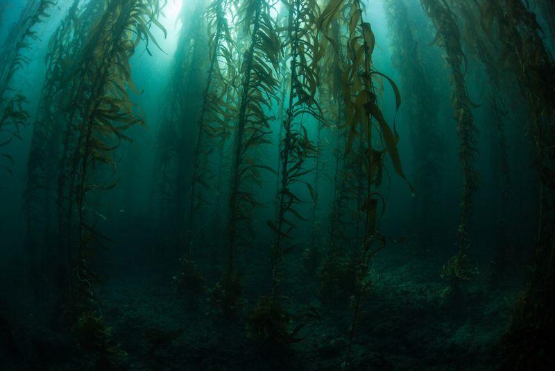 Natural Detoxifier Kelp is