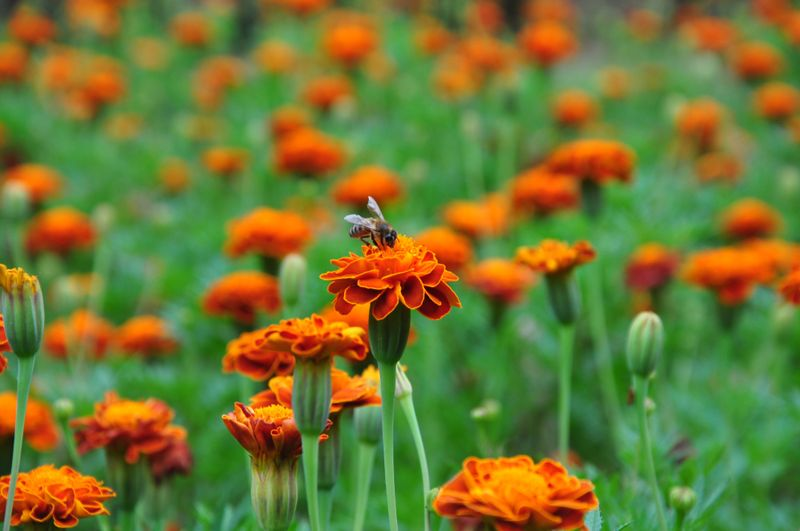 The detoxification value of marigold products