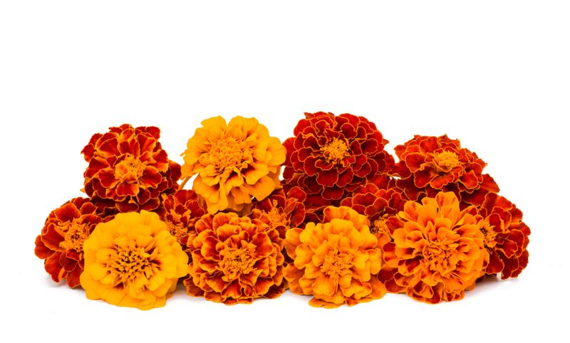 Use marigold products to relieve hemorrhoid pains