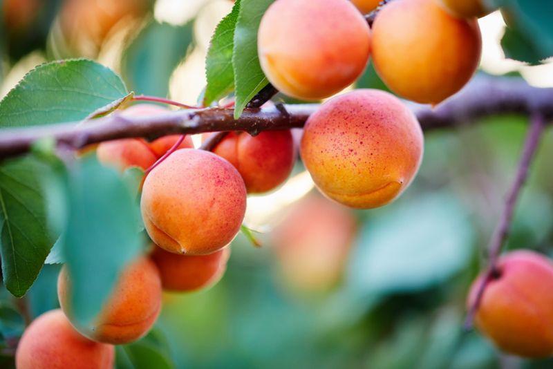 vitamin a in apricots