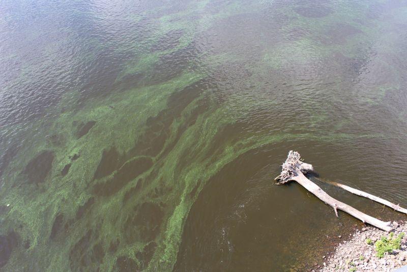 Immune System Support Phytoplankton
