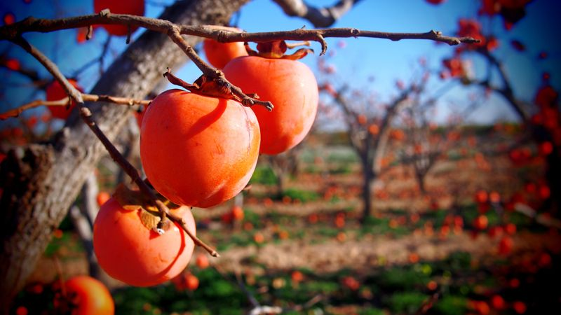 Persimmon for a Healthy Diet