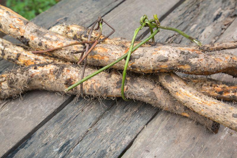 Plant Description