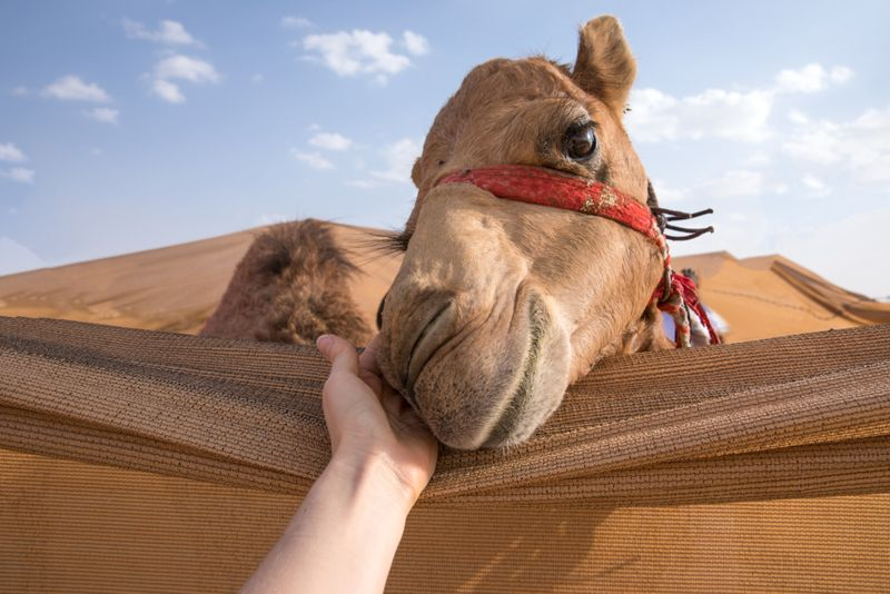 What is Camel Milk?