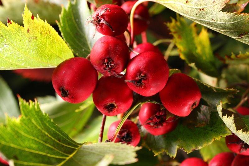 metabolism hawthorn berries