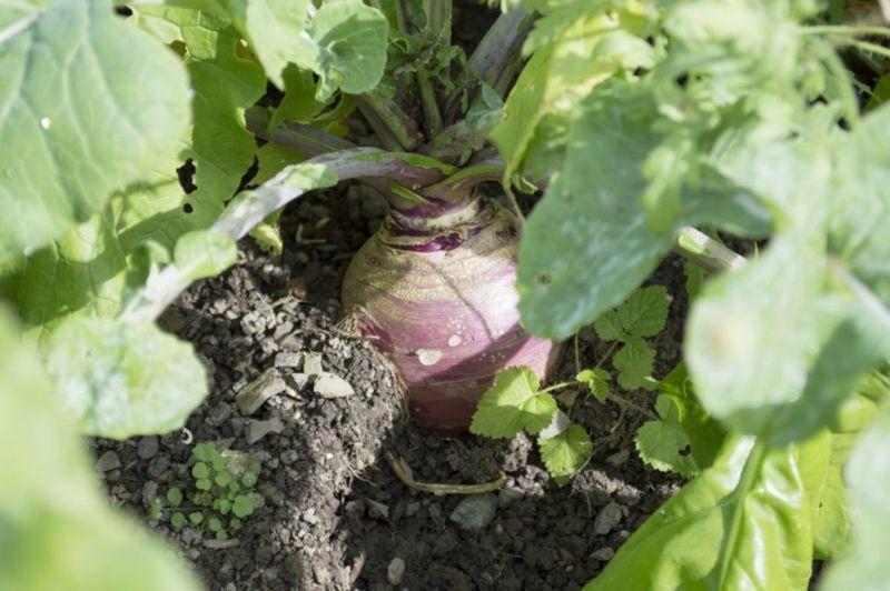 growing rutabaga