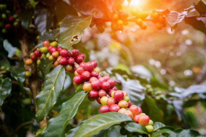 antioxidants green coffee beans