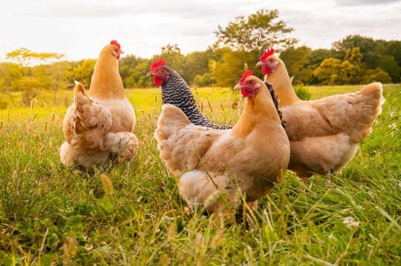 free-range chicken fertility diet