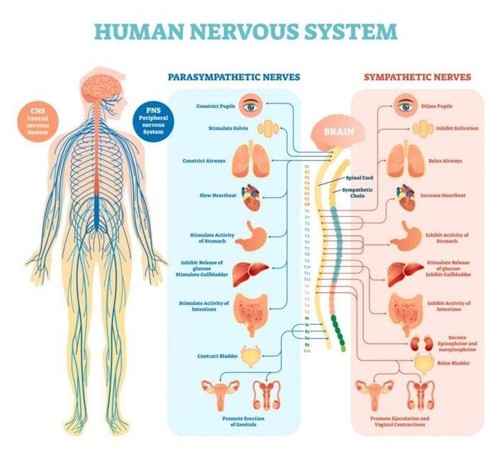 nervous system sunflower seeds
