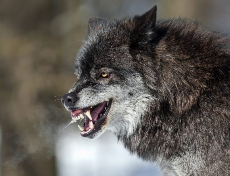 types of dire wolves