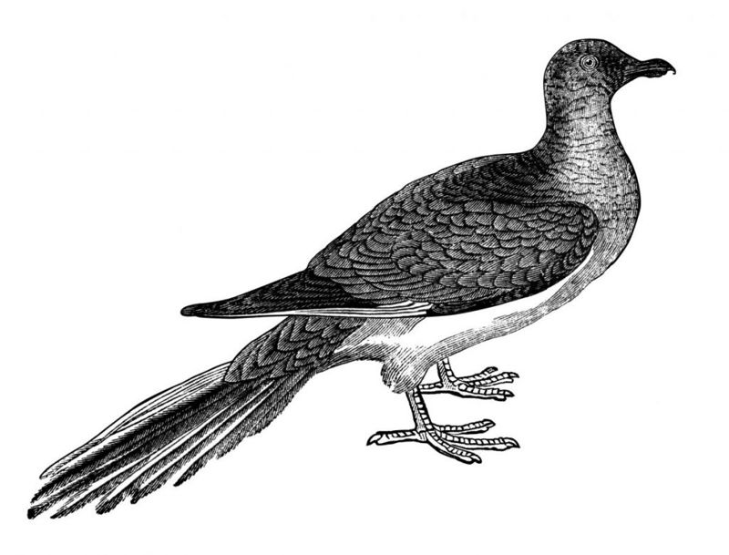 extinct pigeon