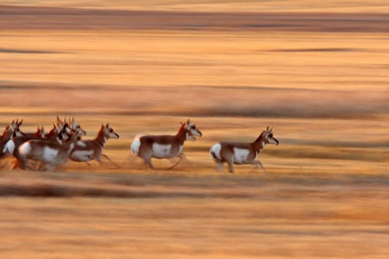 antelope Fastest Animals