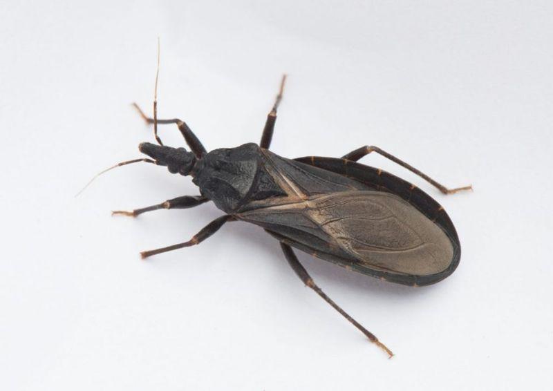 Chagas disease bugs
