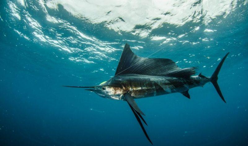 sailfish Fastest Animals