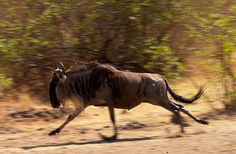 wildebeest Fastest Animals