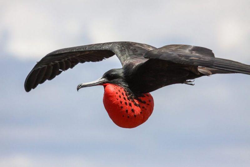 frigate bird Fastest Animals