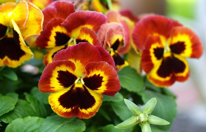 health benefits of pansies