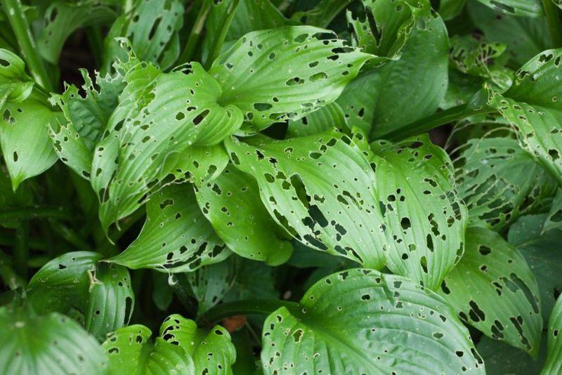 Commensalism plants