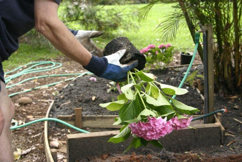 use of hydrangea