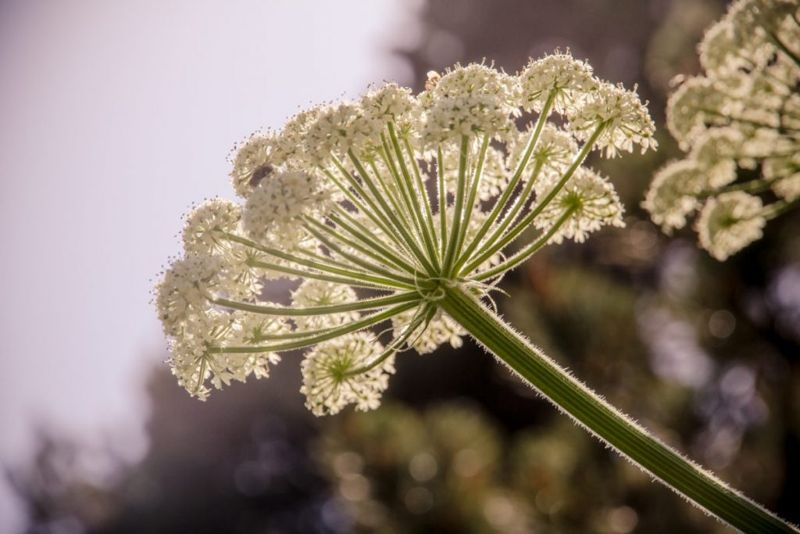Giant hogweed versions