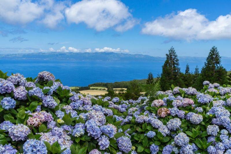 safe benefits of hydrangea