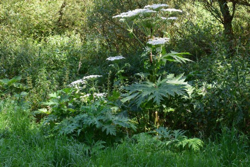 dangers of Giant hogweed