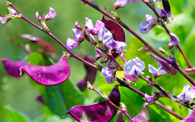 natural medicine hyacinth