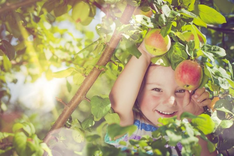 apple picking holiday traditions