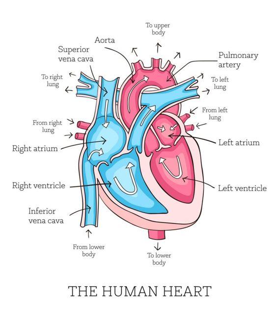 heart valves Aortic valve insufficiency