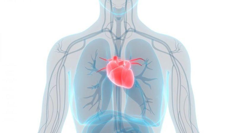 circulatory system body