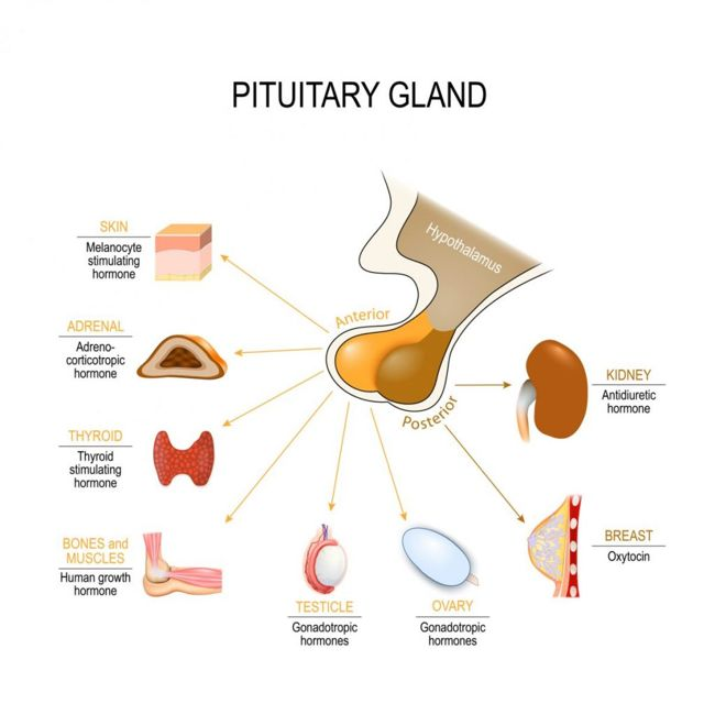 glands endocrine system