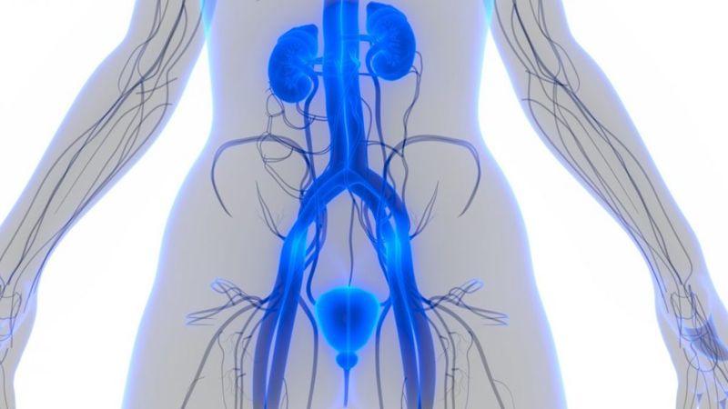 anatomy the urethra