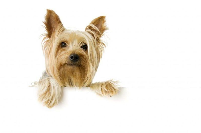 terriers popular dog breeds