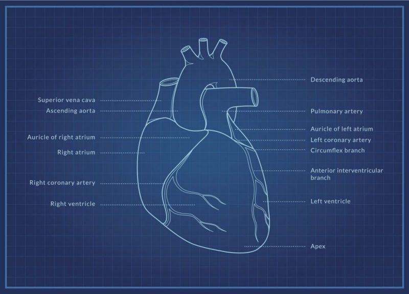 what is the circulatory system