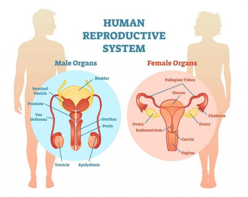 anatomy female reproductive system