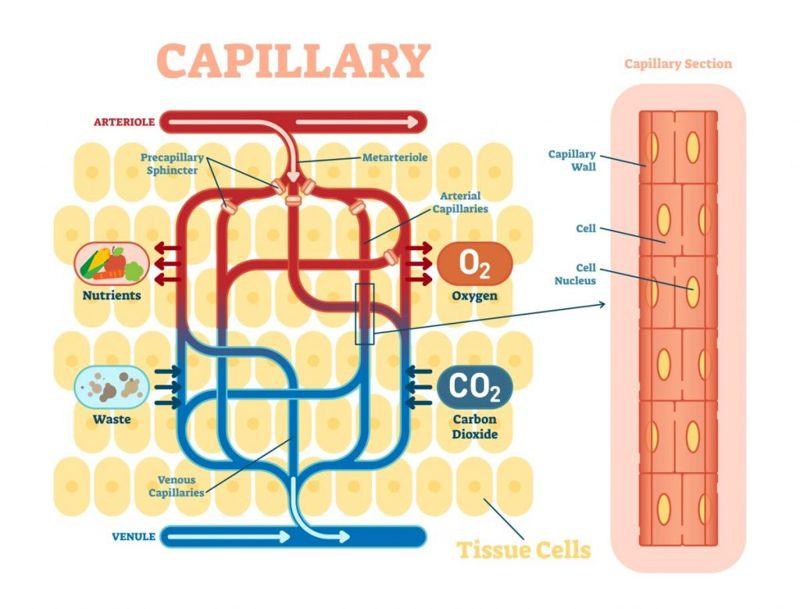 arteries circulatory system