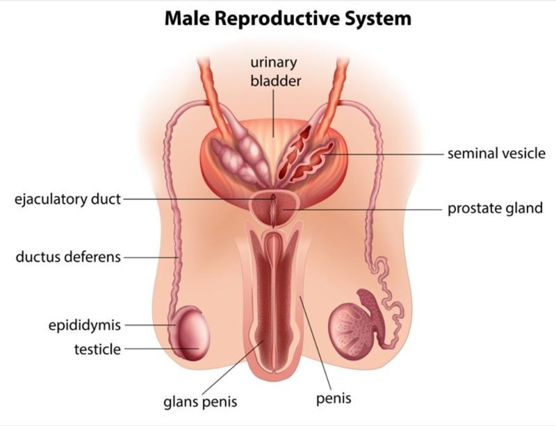 the urethra reproductive system