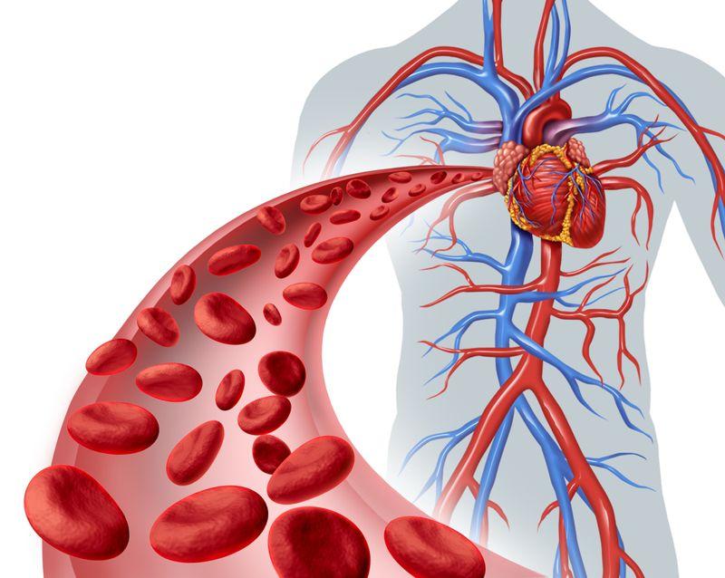 the heart body