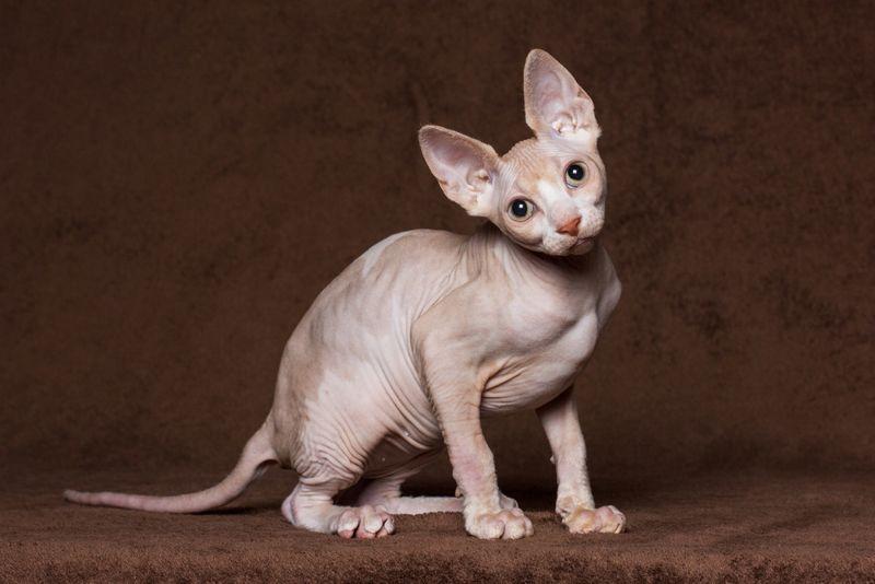 sphinx cat breeds
